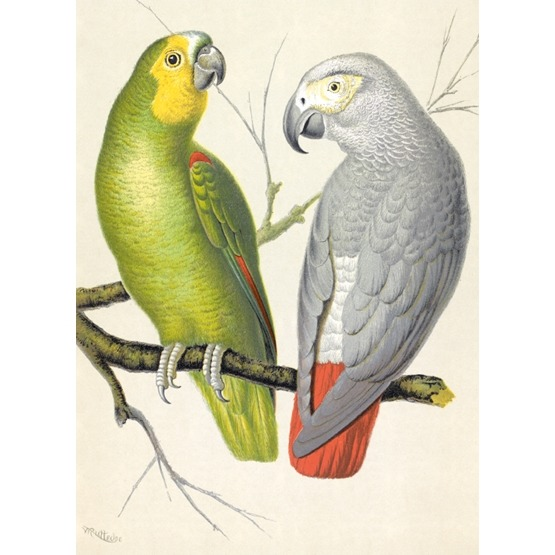 Amazon and Grey Parrots, karnet okolicznościowy z kopertą, B6